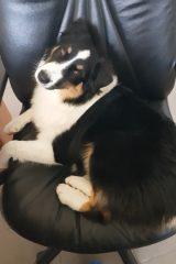 Bibi krzeslo owczarek australijski szczeniak hodowla all embracing