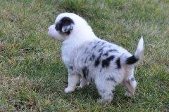 chit w5 owczarek australijski szczeniak