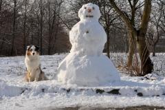 Chita snowman s  owczarek australijski hodowla all embracing
