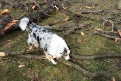 Chita zwiedza  owczarek australijski hodowla all embracing