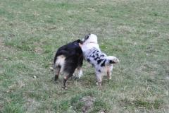 chita m3.5  owczarek australijski hodowla all embracing