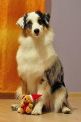 Chita birthday 1st owczarek australijski szczeniak