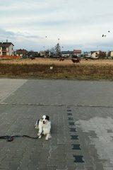 Chita krowy