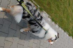 Chita m8.5 2 owczarek australijski szczeniak
