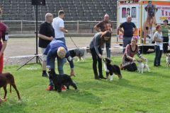 Pancho  owczarek australijski na wystawie psów rasowych w Chorzowie4