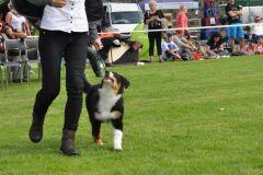 Pancho  owczarek australijski na wystawie psów rasowych w Chorzowie5