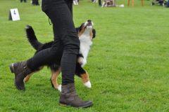 Pancho  owczarek australijski na wystawie psów rasowych w Chorzowie8
