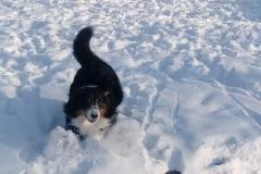 pancho snieg hodowla all embracing owczarek australijski