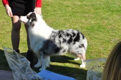 owczarek-australijski-hodowla-Chita-R1017-4r