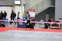 hodowla owczarków australijskich - pancho na wystawie w kielcach 2014 w ruchu