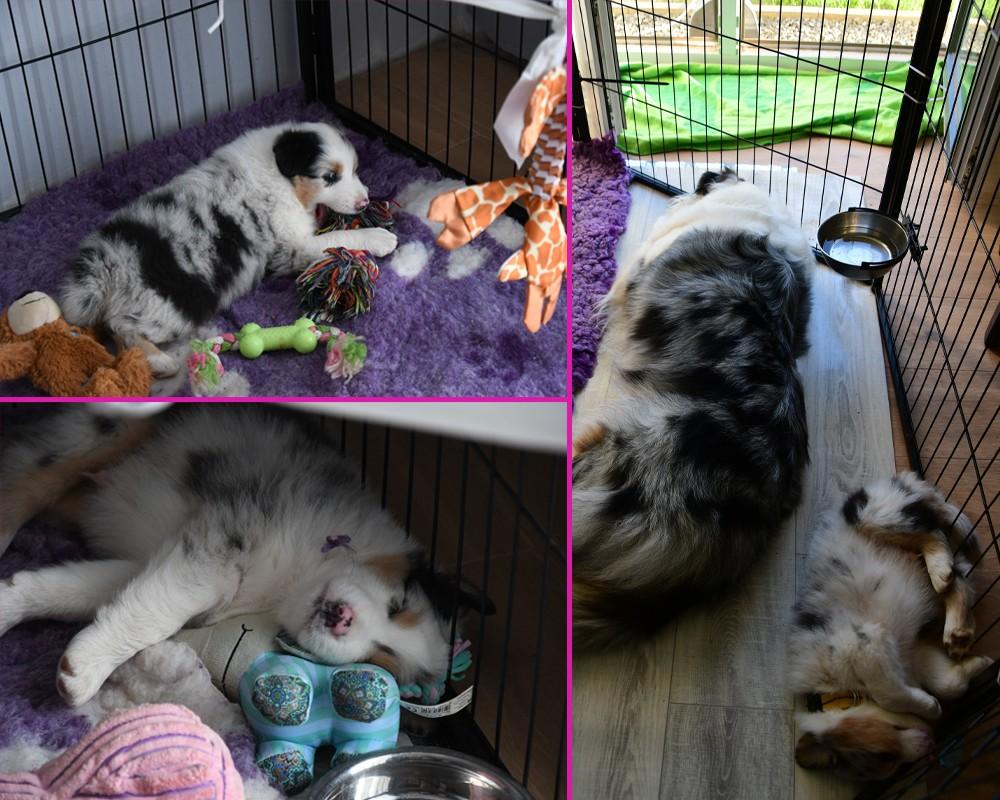Domowy odpoczynek szczeniaka owczarka australijskiego